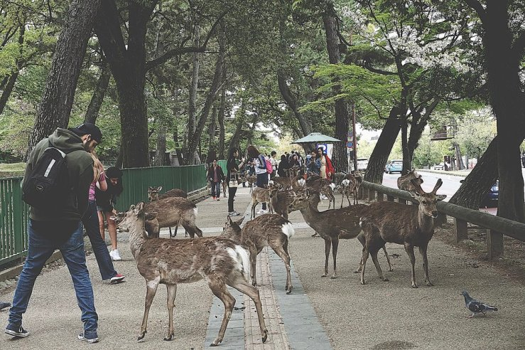 These deer can get pretty feisty. You can buy these biscuit treats at the park to feed these semi-wild deer. But beware... they WILL chase you down once they see you have food lol. These deer are so cool and have been trained to also bow before you give them their treat.