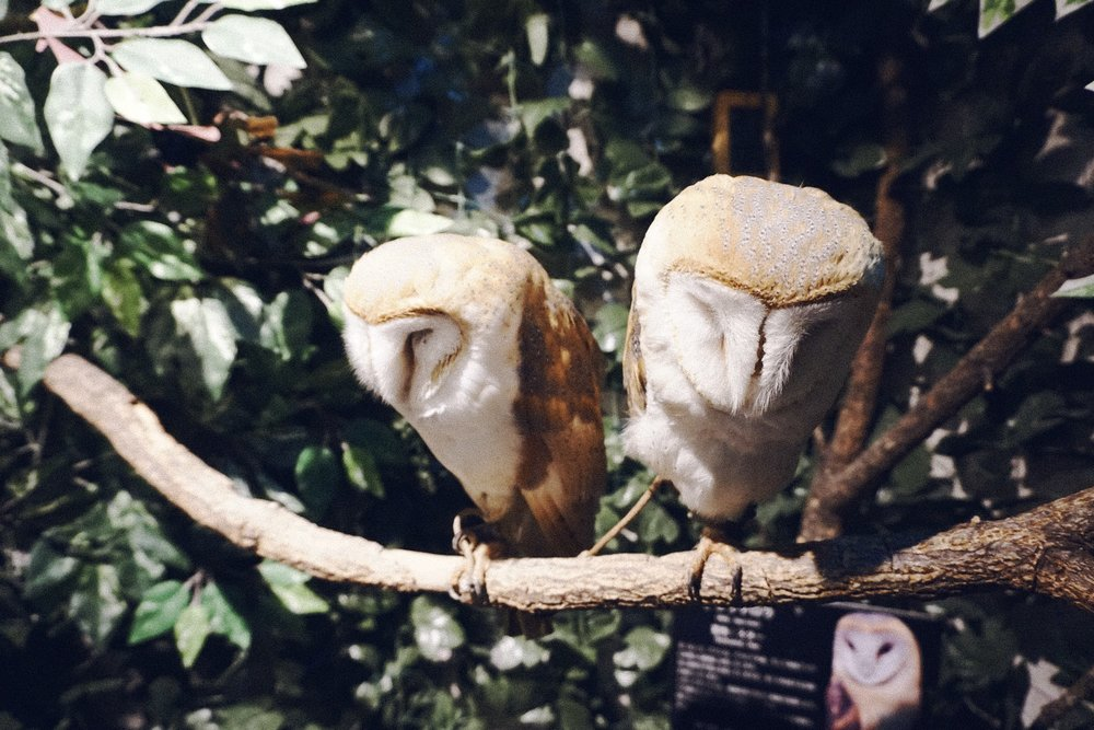 Animal cafes are popular in Japan. Before going to this owl cafe, I had to research whether these places were safe or humane for the animals that inhabit it. As cool as it was to be able to see these owls up close, Jay and I felt sad because these nocturnal animals should be sleeping during the day, but instead are kept awake for tourists to see. Some cafes do let the owls roam free after hours and are actually in-bred into captivity so are used to human interaction. It's controversial, much like zoos, so it is to your own discretion if you wish to visit one of the many animal cafes they have in Japan. They really are such majestic creatures though.